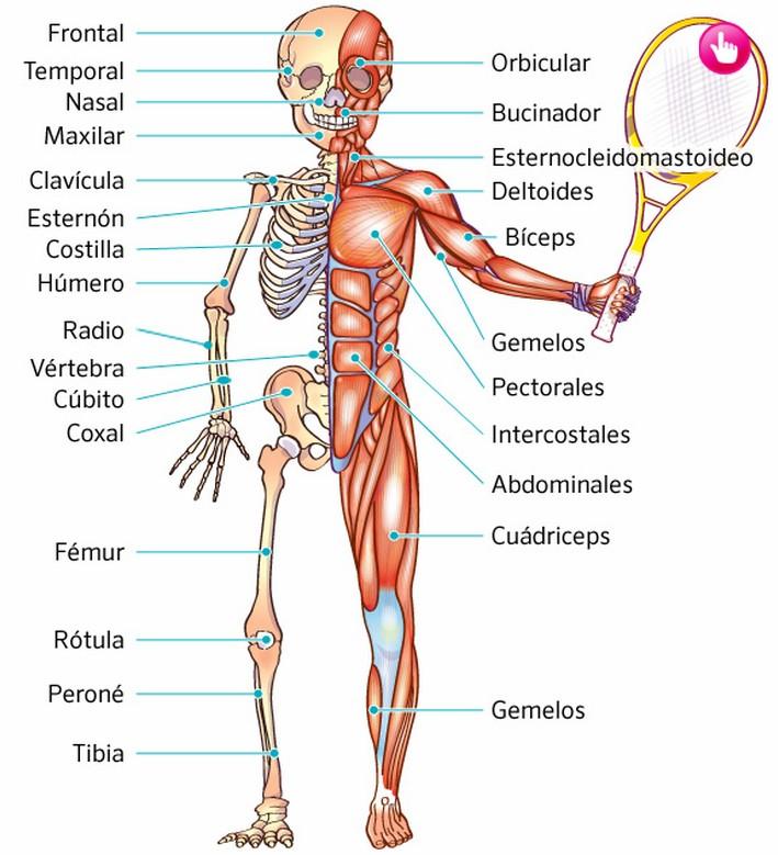 El cuerpo humano: Huesos y Músculos.